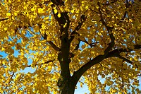 tree, trees, deciduous tree, deciduous trees, crown, autumn, season