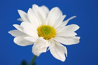 chrysanthemum, bloom, burkhard, blue, blossom, abloom