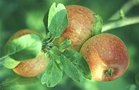 day, apple tree, close_up, CLOSE, christoph, apple
