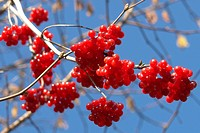 baunm, berne, berries, berry tree, blue, blurred, branch