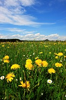 dandelion, farmland, aue, outside, flower, flowers, crowfoot