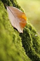 CLOSE, autumn, bryophyta, brown, beige, alfred