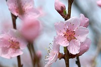 branch, tree, spring, buds, peach tree, plant, plants