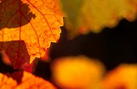 colored, autumn, calf, autumn_like, autumn leaf, grapevine, austria