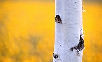 glowing, bark, calf, birchbark, birch trunk, Lower Austria, austria