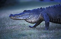 alligatoren, animals, alligatoridae, alligator