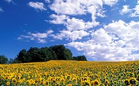 flora, beaming, clouds, calf, burgenland, helianthus, austria