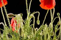 Flora, Freigestellte, Freisteller, blooming, papaver rhoeas, Wiesenblume, bloomer