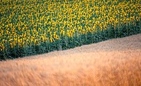 Lower Austria, calf, helianthus, evening light, cornfield, more sunflower, austria