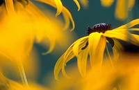 bluetenstempel, austria, black_eyed Susan, bloom, blossom, botany, calf