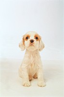 animal, 35mm, americancockerspaniel, cockerspaniel, spaniel, domestic animal, film
