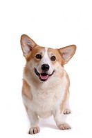 domestic, cute, loving, canines, corgi