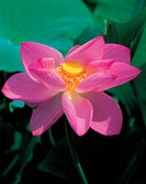 blossom, plant, bloom, flowers, plants, lotus flower, flower