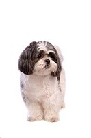 Posed, domestic, pose, house pet, canines, shih tzu (thumbnail)
