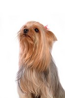 Yorkie, yorkshire terrier, yorky, terrier, yorkshire, domestic, dog (thumbnail)