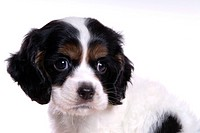 Cute, domestic, loving, puppy, canines, house pet, cocker spaniel (thumbnail)