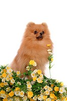 posed, domestic, pose, house pet, canines, pomeranian