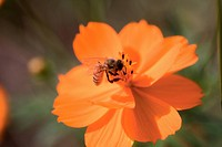 animal, plant, bee, insect, flower, arthropod, nature