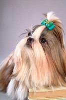 posed, domestic, pose, house pet, canines, shih tzu