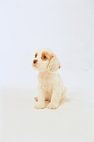 Domestic animal, 35mm, americancockerspaniel, cockerspaniel, spaniel, canine, film (thumbnail)