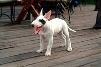 faithful, domestic animal, companion, canine, close up, bullterrier