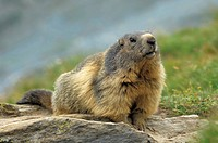 mountain, animal, marmota, marmot, huwiler, mountains, Alps