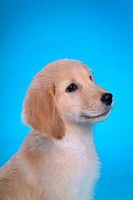 Canine, domestic animal, closeup, close up, looking forward, companion, golden retriever (thumbnail)