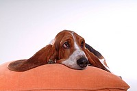 Faithful, domestic animal, companion, canine, close up, basset hound (thumbnail)
