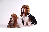 faithful, domestic animal, companion, canine, close up, basset hound