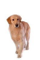 Canine, domestic animal, closeup, close up, looking down, companion, golden retriever (thumbnail)