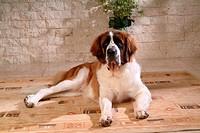 pose, st bernard, house pet, canines, domestic, posed, saint bernard