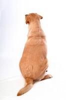 house pet, domestic, cute, loving, canines, faithful, labrador retriever