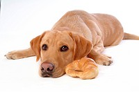 house pet, domestic, cute, loving, canines, faithful, labrador retriever