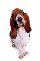 canine, dog, close up, domestic animal, pet, companion, basset hound