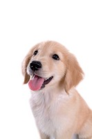 canine, domestic animal, closeup, close up, looking up, companion, golden retriever