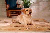 House pet, labrador, canines, domestic, retriever, labrador retriever (thumbnail)