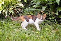 Cute, domestic, furry, kitty, kitten, house pet, feline (thumbnail)