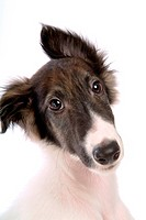 Faithful, domestic animal, companion, canine, close up, borzoi (thumbnail)
