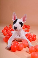 Faithful, domestic animal, companion, canine, close up, bullterrier (thumbnail)