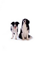 Canine, dog, close up, domestic animal, pet, companion, border collie (thumbnail)