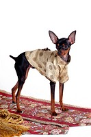 companion, pinscher, house pet, canines, domestic, pose, miniature pinscher