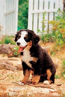 Domestic dog, 35mm, canine, domestic animal, BerneseMountainDog, bernese mountain dog, film (thumbnail)