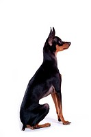 house pet, domestic, cute, loving, canines, companion, miniature pinscher