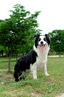 canine, dog, close up, domestic animal, pet, companion, border collie