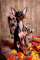 pose, pinscher, house pet, canines, domestic, posed, miniature pinscher