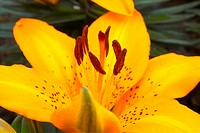 plants, spring, lily, lilium, flower, flowers, plant