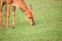 land animal, deer, mammal, vertebrate, field, wild animal, animal