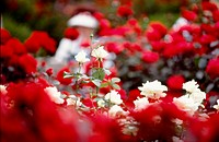 red flowers, nature, flowers, flower, scene, white flowers, landscape