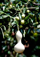 Plant, nature, calabash, gourd, scene, plants, landscape (thumbnail)