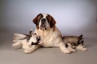Pose, st bernard, house pet, canines, domestic, S2saint bernard (thumbnail)